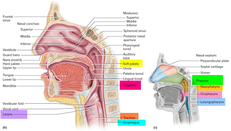 Supraglottic larynx anatomy 8021576 - follow4more.info