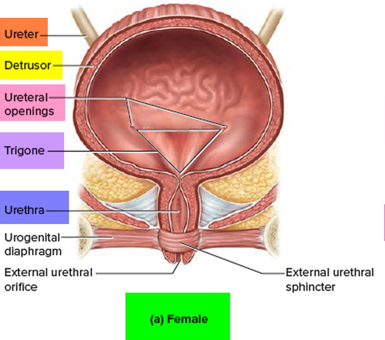 Bladder female anatomy