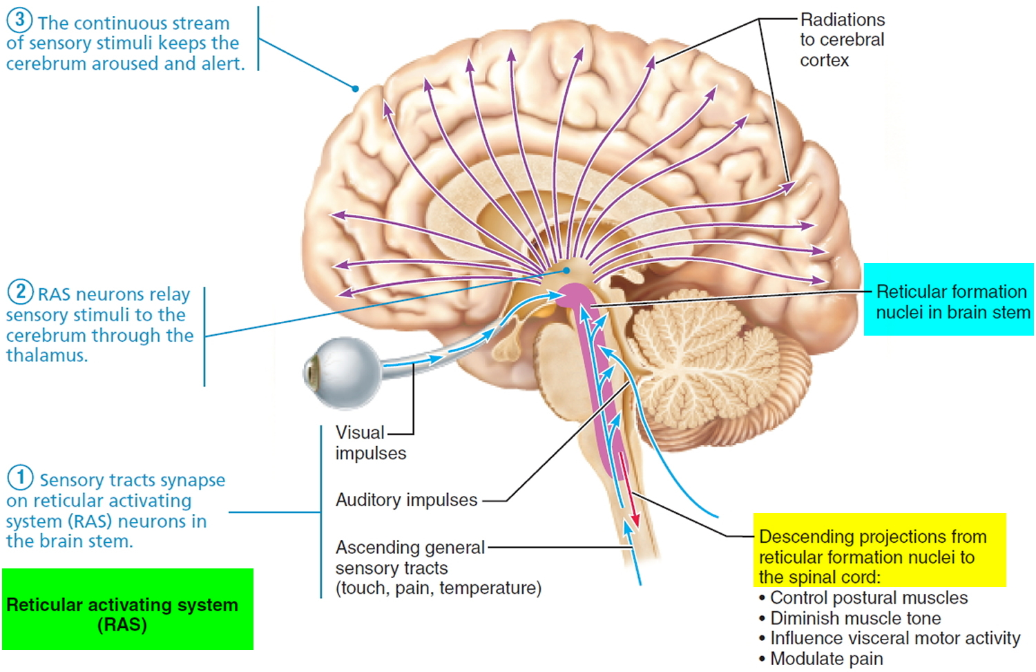 Reticular activating system anatomy