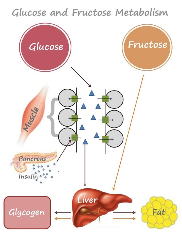 What And How Your Body Metabolises Sugar Glucose And Fructose