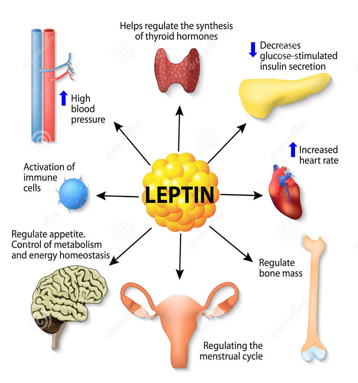 What is the Leptin Hormone Function and how does it ...