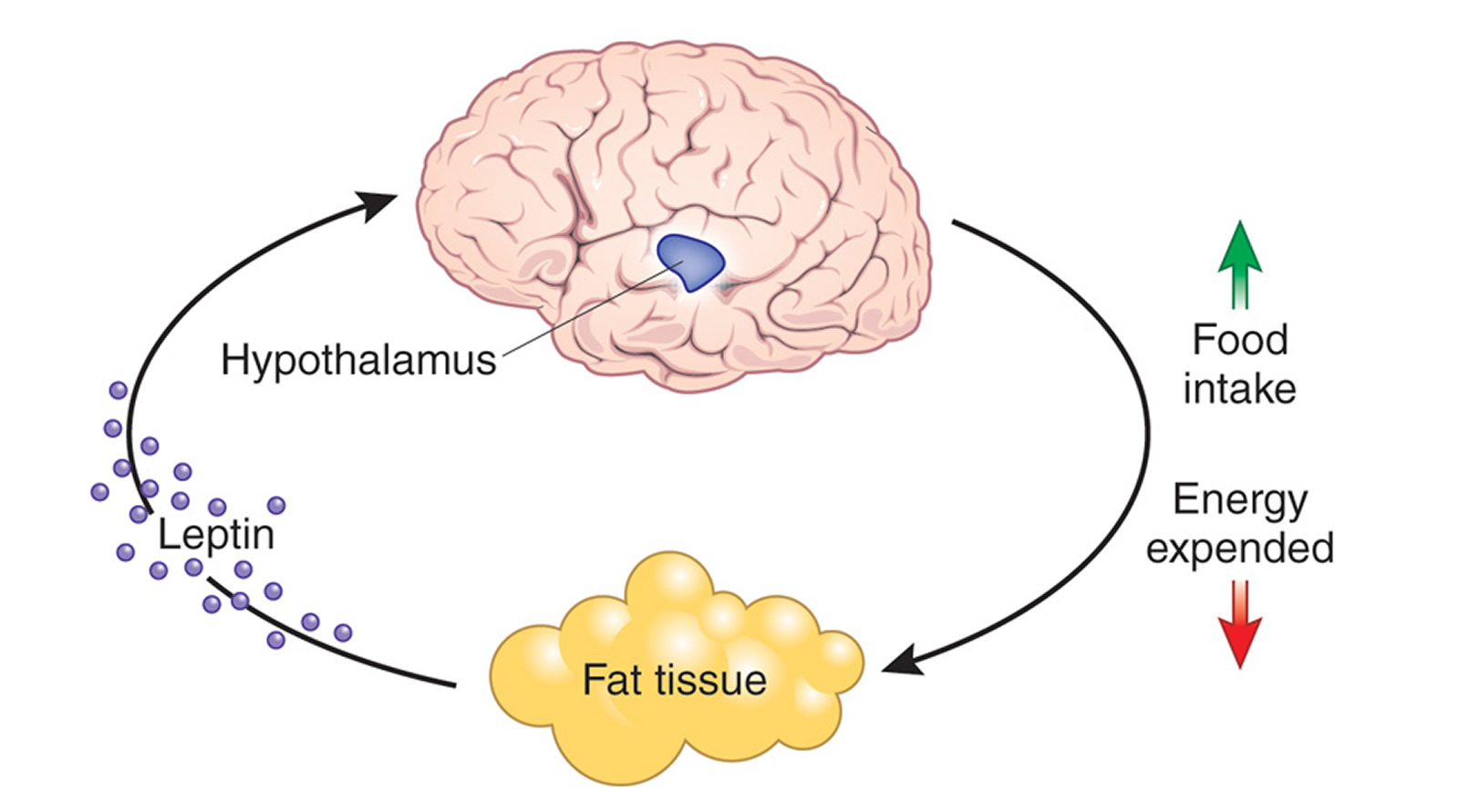 What is the Leptin Hormone Function and how does it