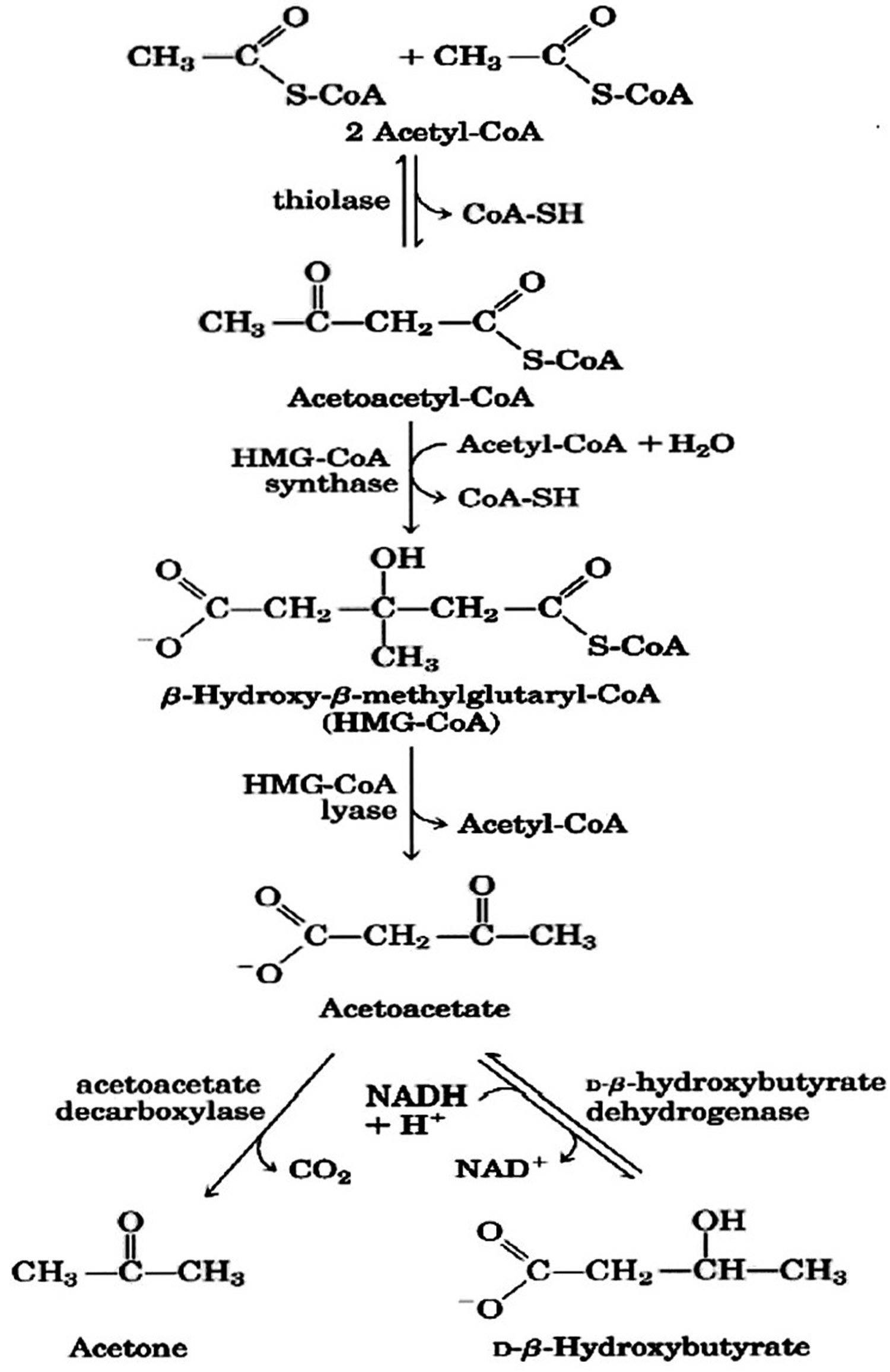 ketone bodies formation
