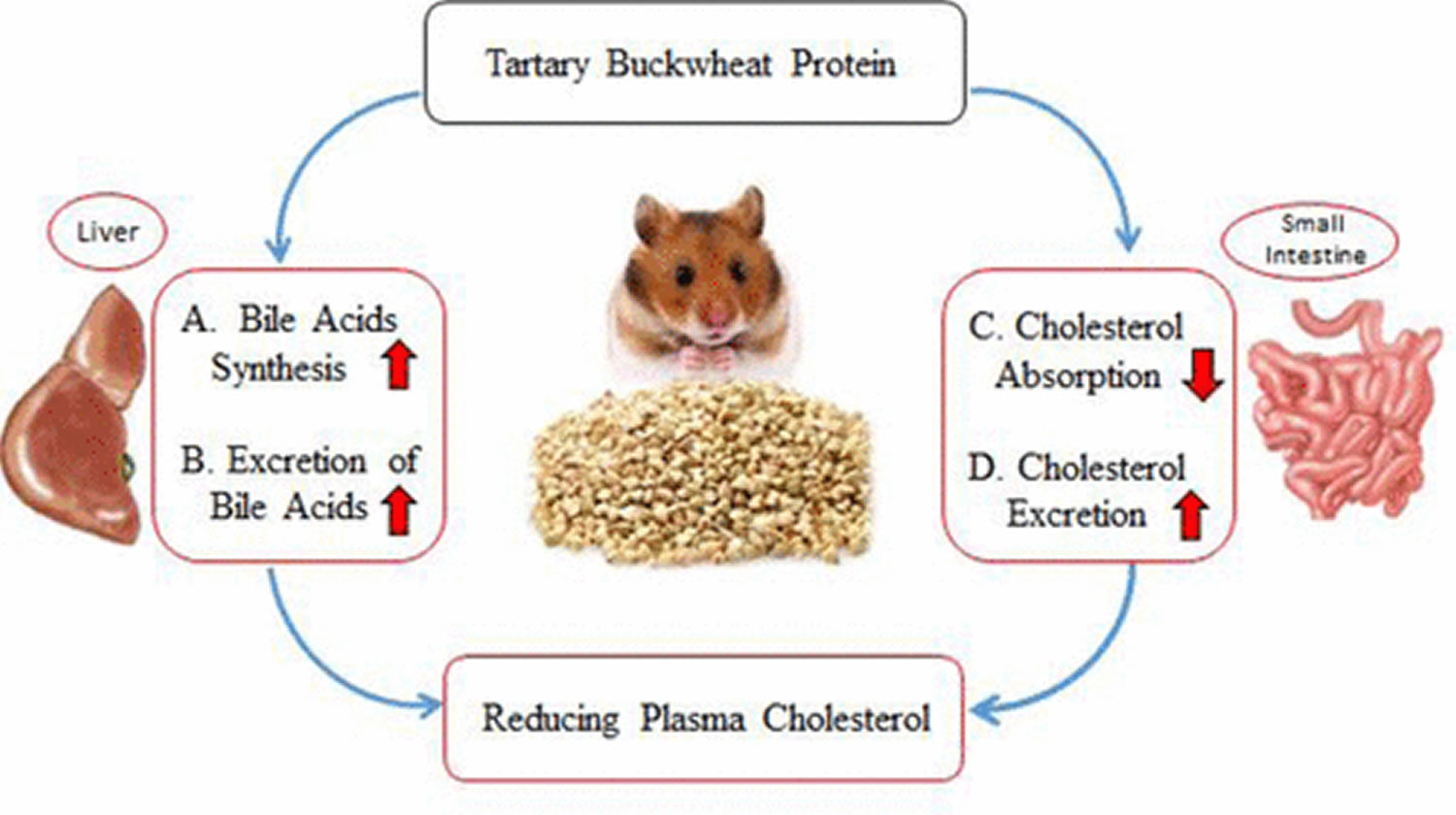 buckwheat cholesterol lowering potential