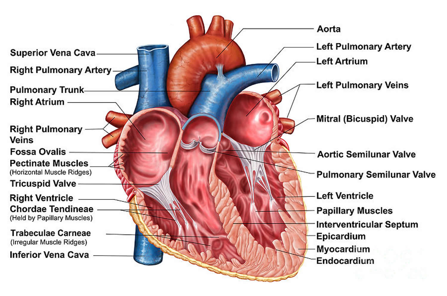 Heart-Anatomy-Cut-Section