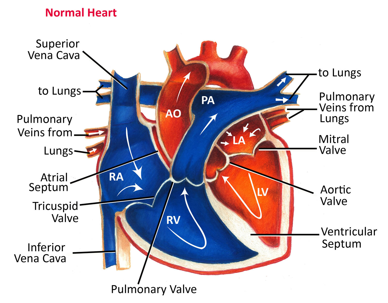Normal_Heart_Anatomy_and_Blood_Flow