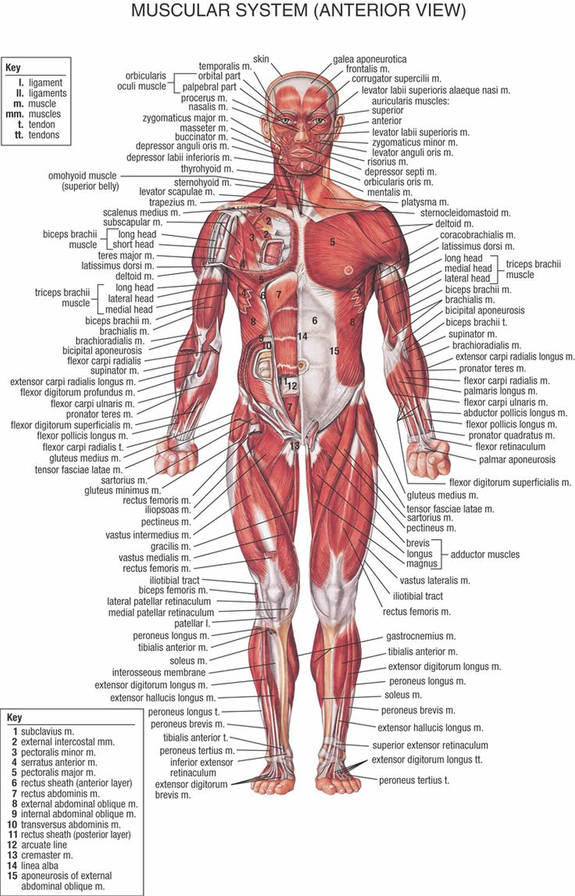 muscle anatomy front
