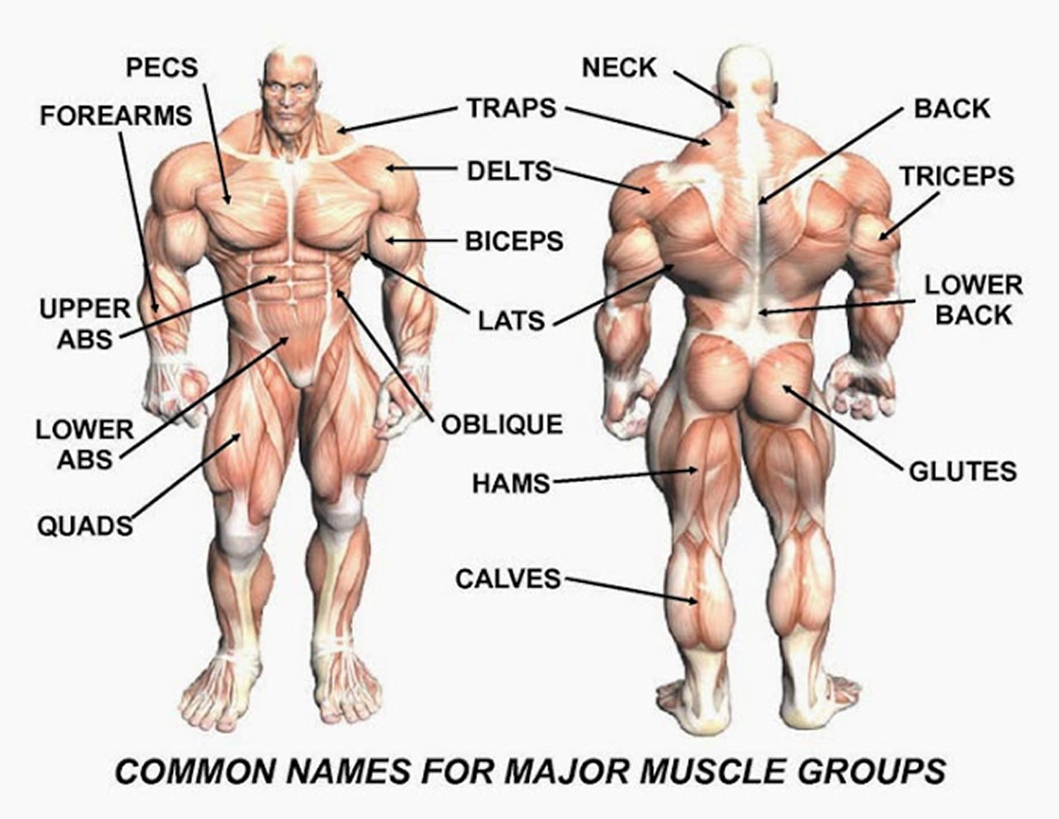 muscle anatomy simplified for bodybuilders