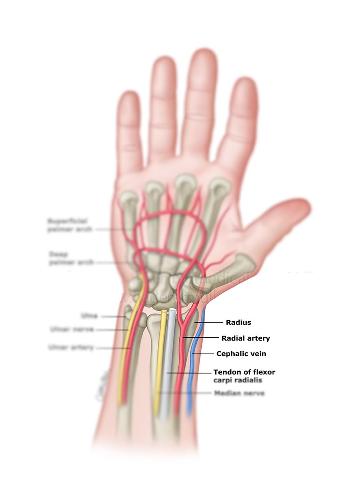 radial_artery