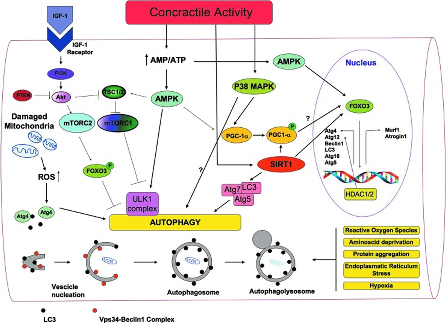 signaling molecules involved in the regulation of autophagy in skeletal muscles