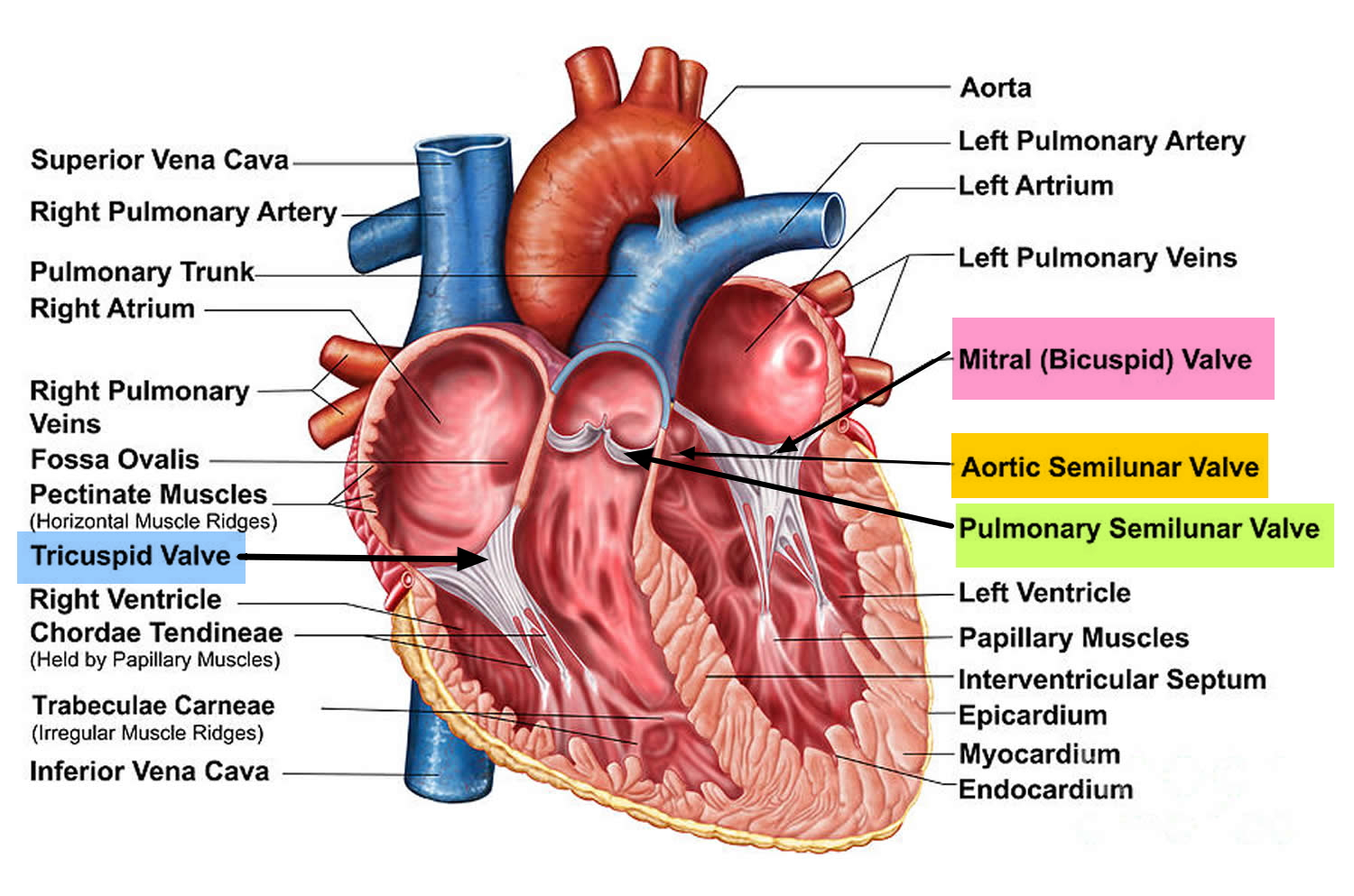 Heart Valves. Function, Purpose and How Many Heart Valves in Your Heart