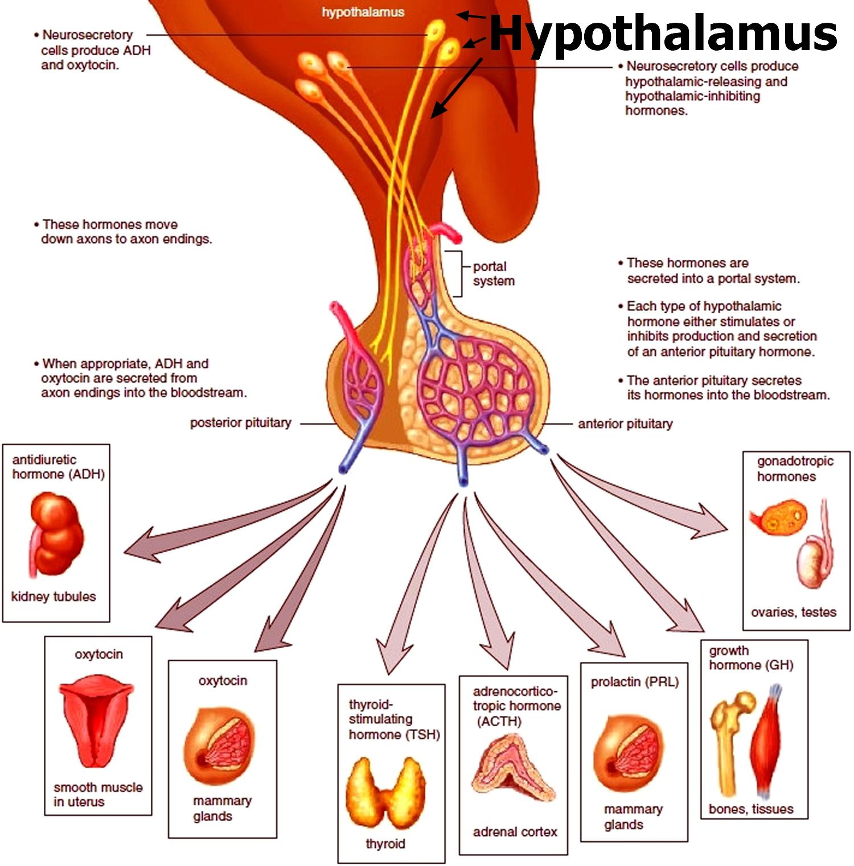 hypothalamic hormones What is the pituitary gland - functions, hormones & hypothalamus pineal  gland, functions, melatonin & circadian rhythm brain stem: function, anatomy  &.