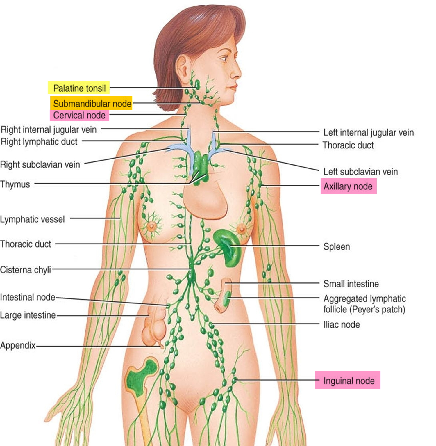 lymph nodes - causes of swollen lymph nodes in neck, groin, armpit