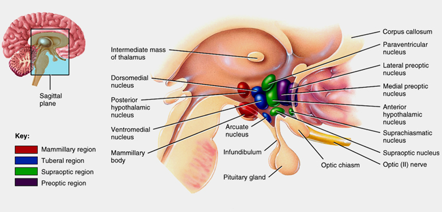 Anatomy of hypothalamus 8106115 - follow4more.info