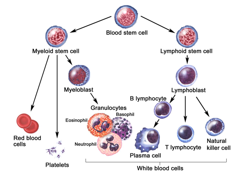 blood cell development
