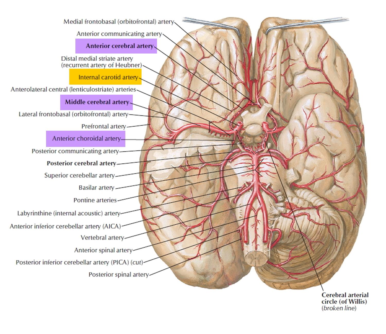 cerebral artery