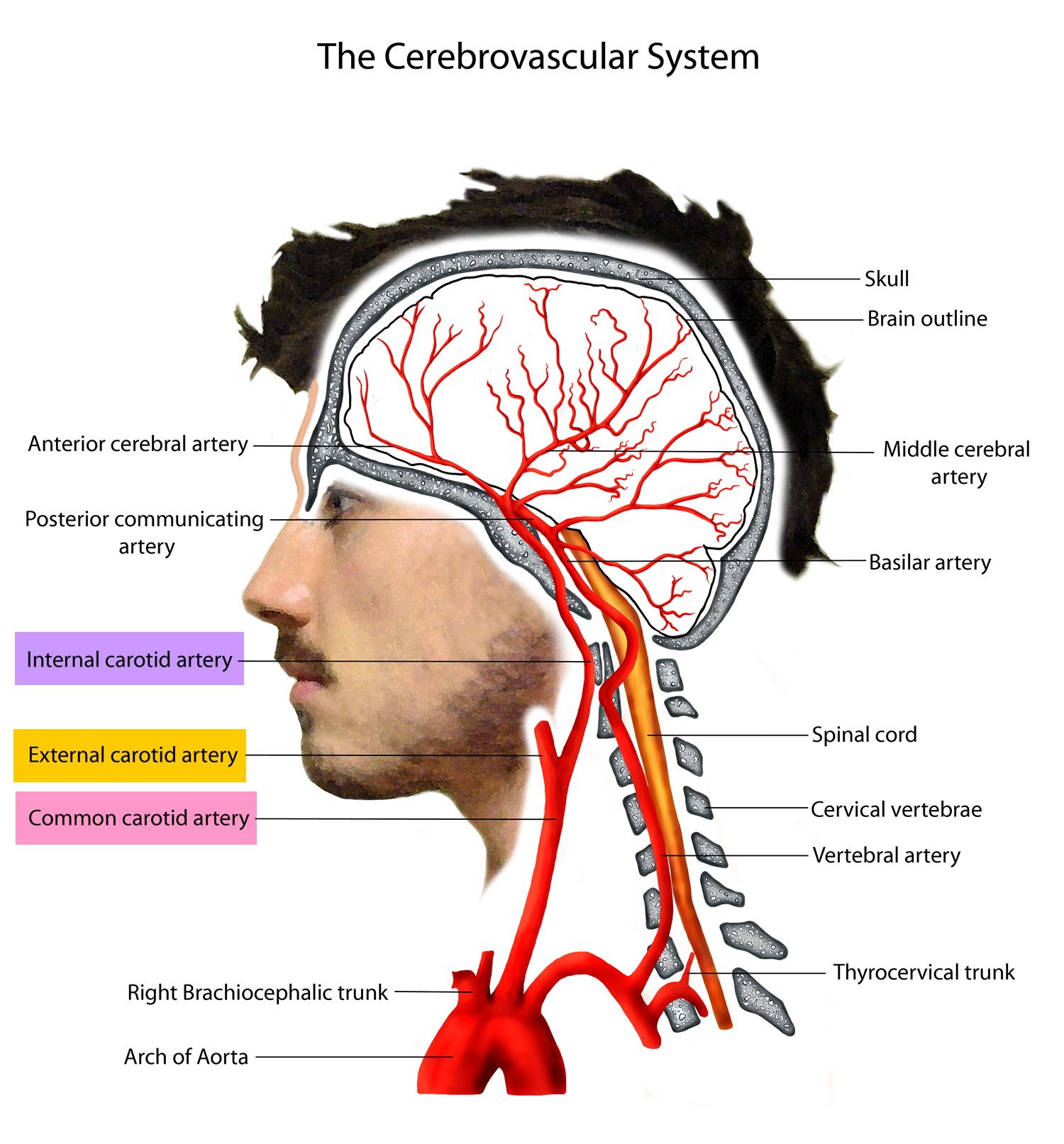 cerebrovascular system