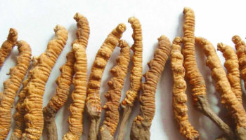 cordyceps sinensis mushroom