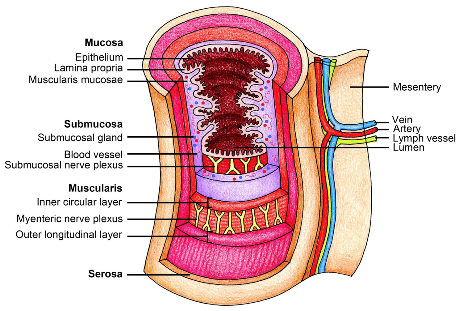 The Human Esophagus - Functions and Anatomy and Problems
