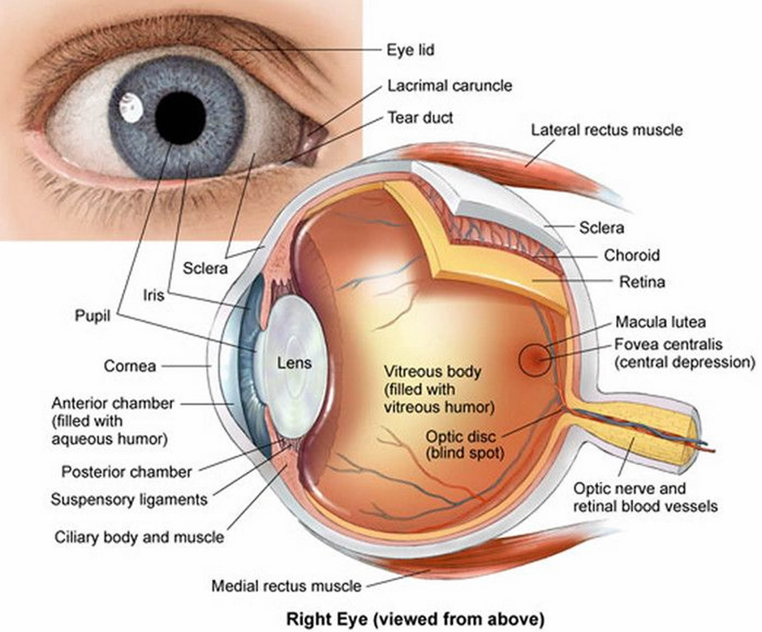 Human Eye Anatomy - Parts of the Eye and Structure of the Human Eye