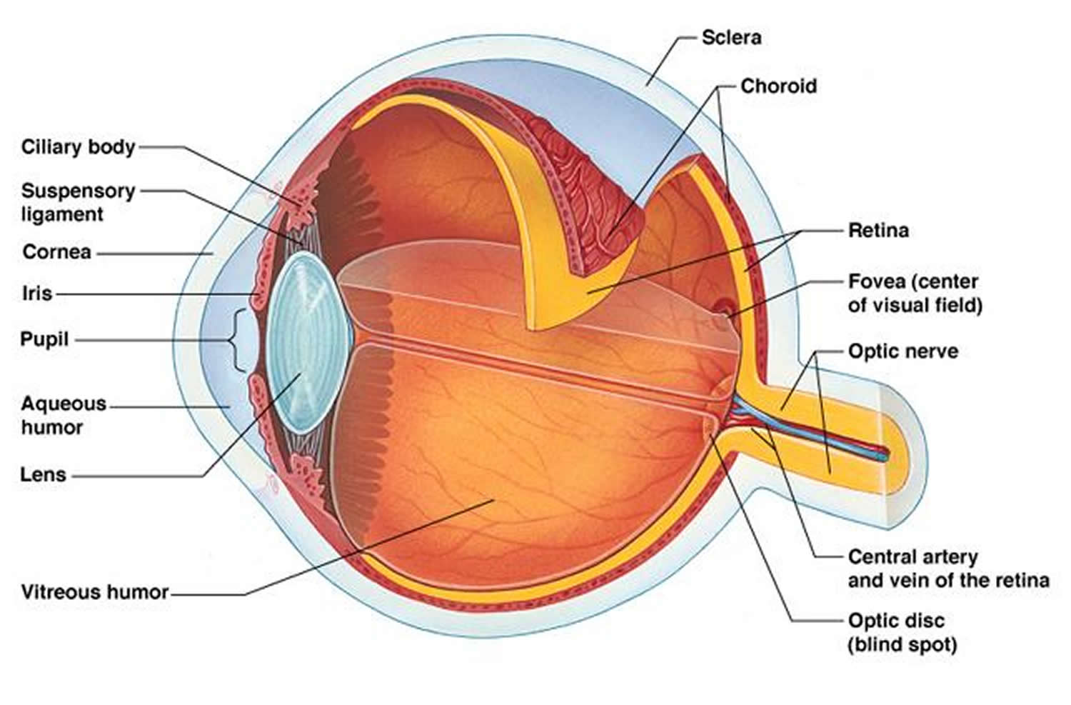eye anatomy 1