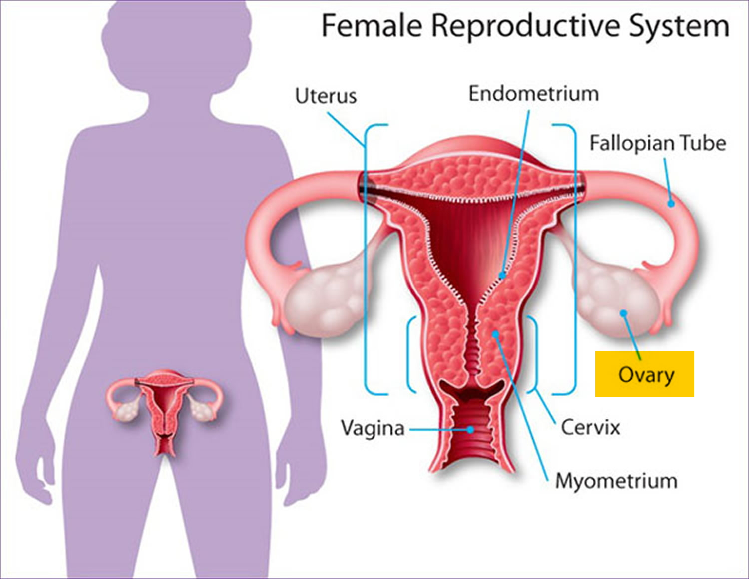 female sex hormone secreted by the ovaries in Coventry