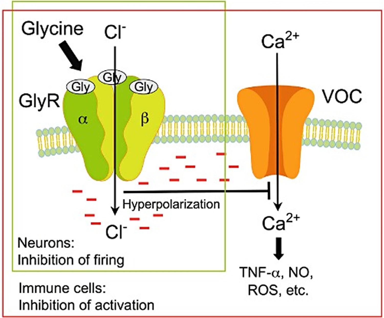 glycine inhibitory neurotransmitter