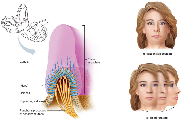 inner ear dynamic balance organs
