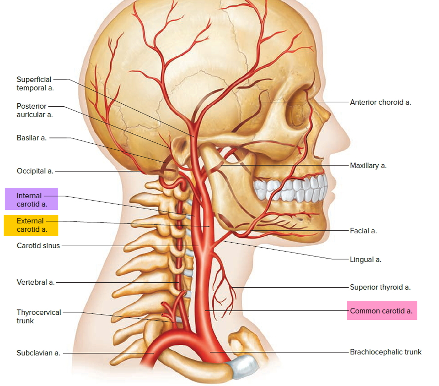 internal and external carotid artery