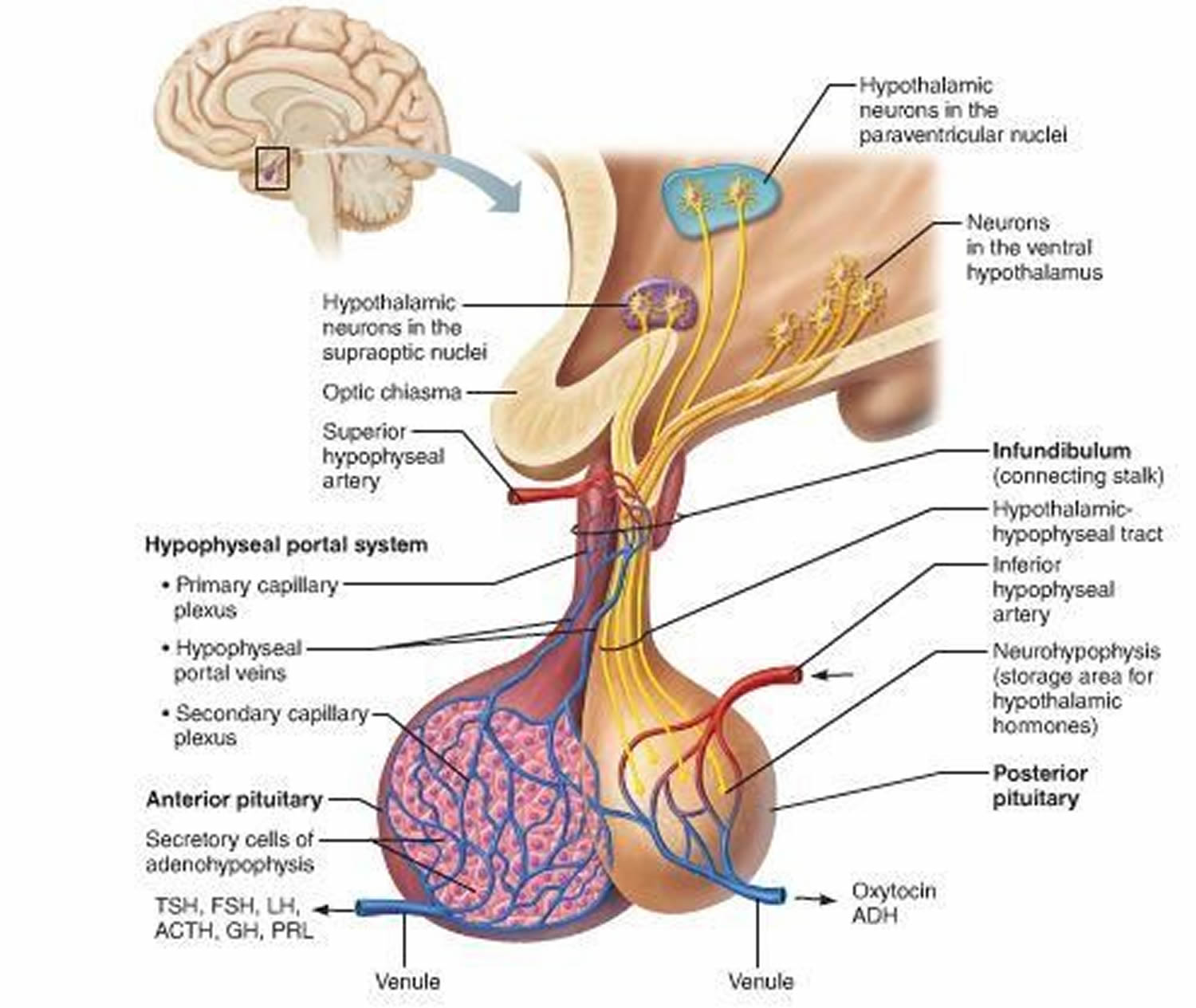 location of the pituitary gland