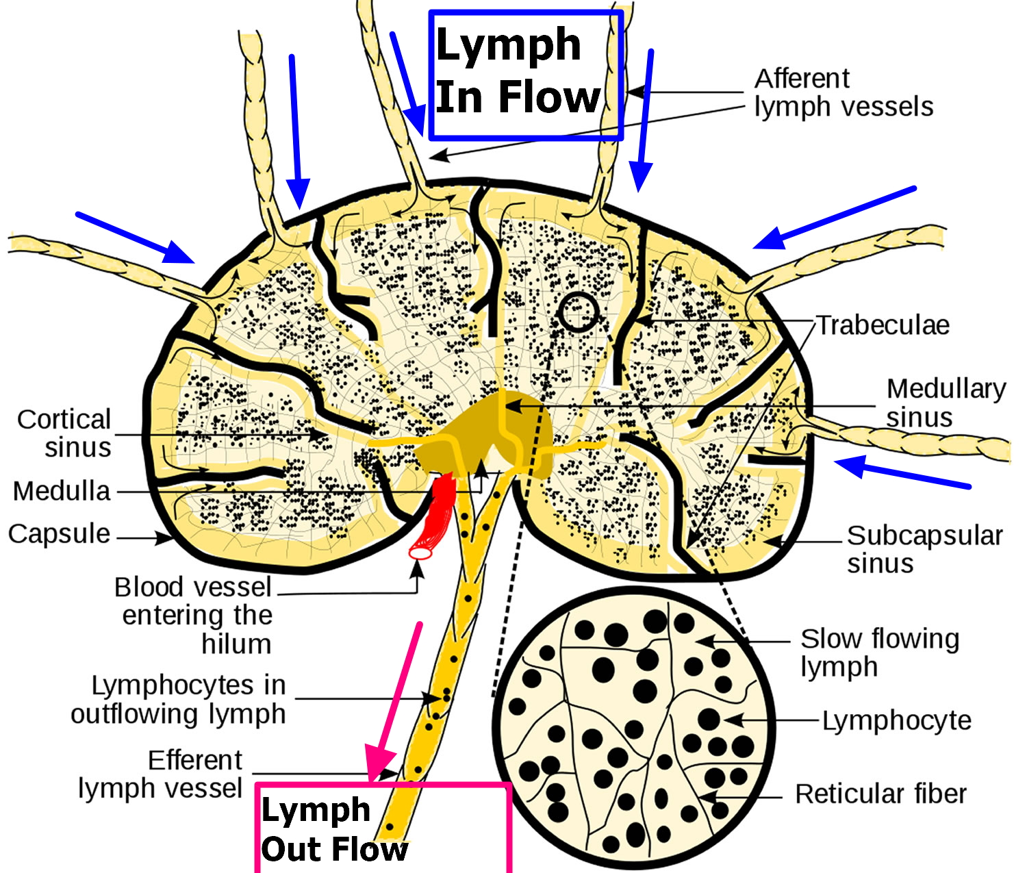 lymphatic flow through lymph nodes