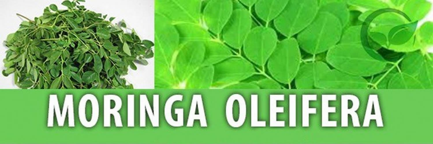 moringa-oleifera