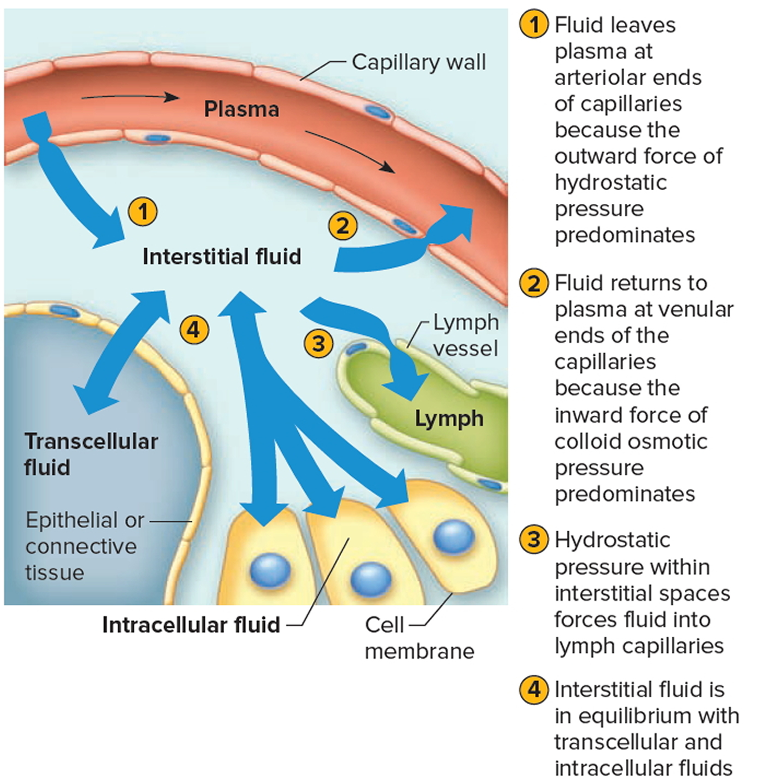 movement of fluid between intracellular and extracellular space