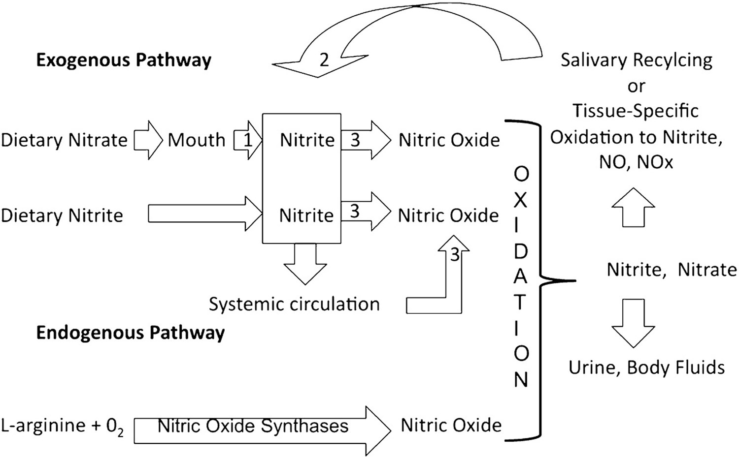 nitrate and nitric oxide productions