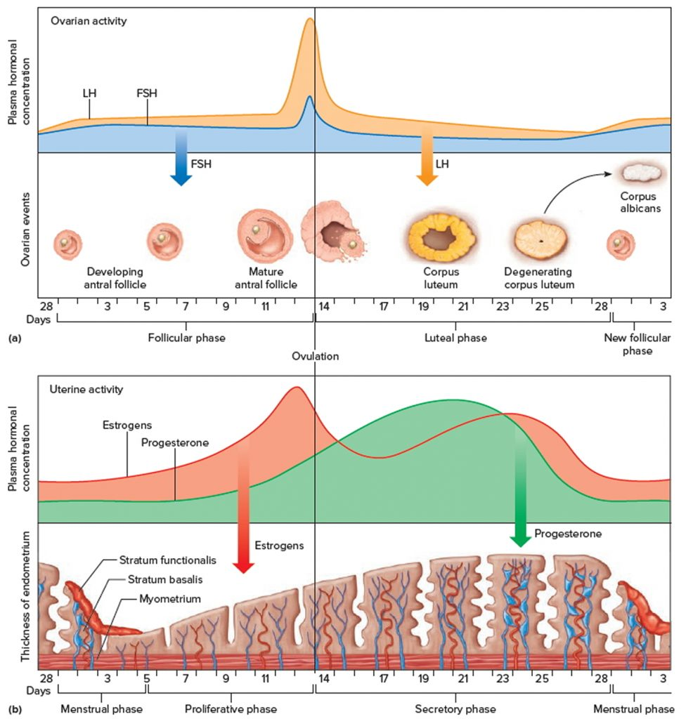 menstrual cycle vs ovarian cycle The menstrual cycle can be described by the ovarian or uterine cycle the ovarian cycle describes changes that occur in the follicles of the ovary whereas the uterine cycle describes changes in the endometrial lining of the.