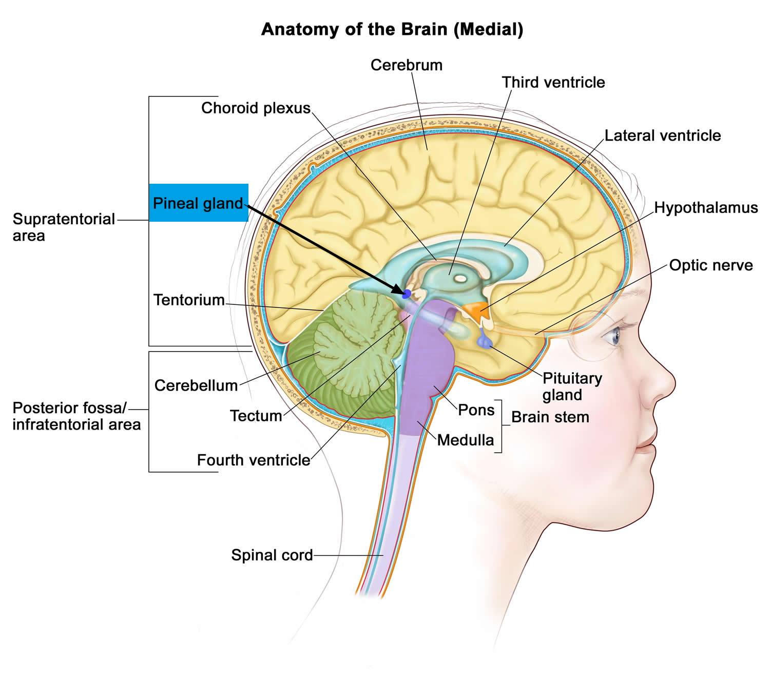 Pineal Gland & its Function - Cyst & Calcified Pineal Gland