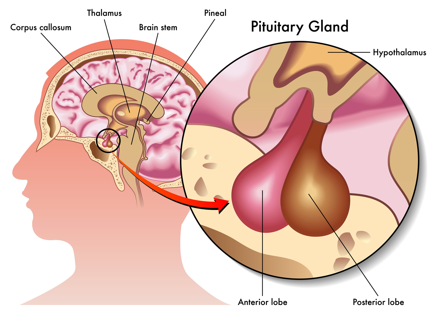 What Does The Pituitary Gland Do on pancreas location in female