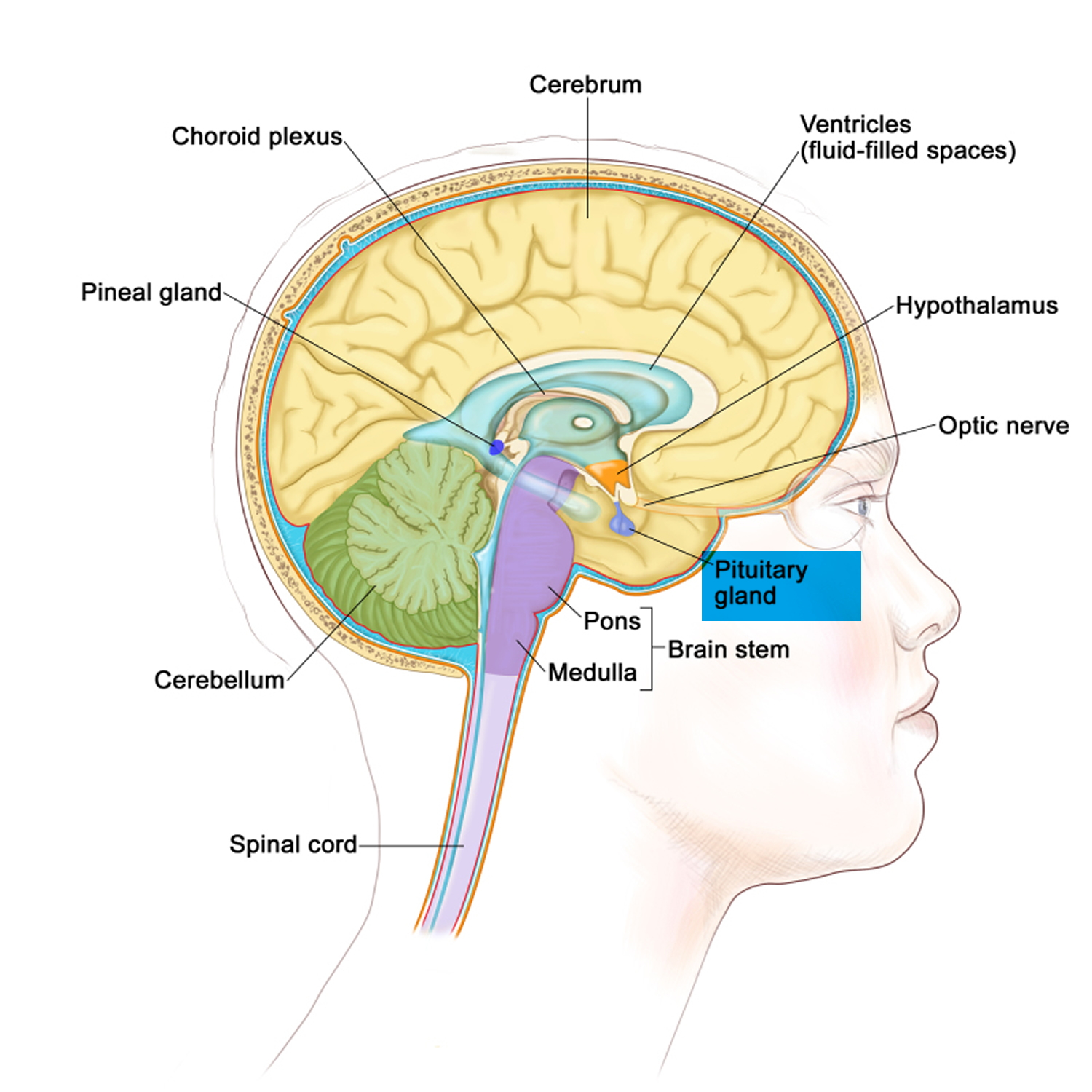 role of the pituitary gland Explain the role of the pituitary gland in maintaining homeostasis identify anatomy of the pituitary gland and nearby structures describe treatment options available for pituitary adenomas and disorders.