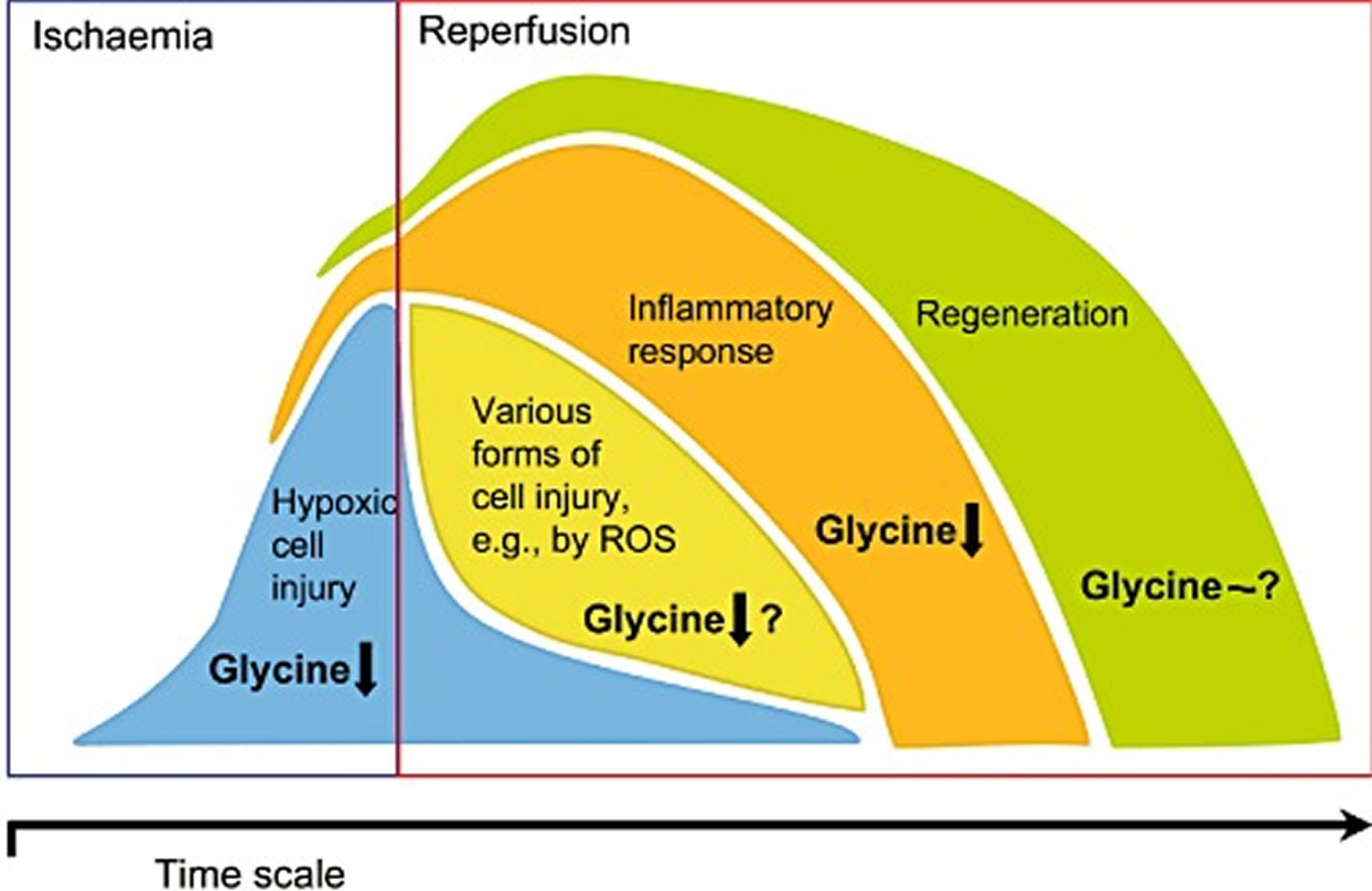 protective effects of glycine following ischemia