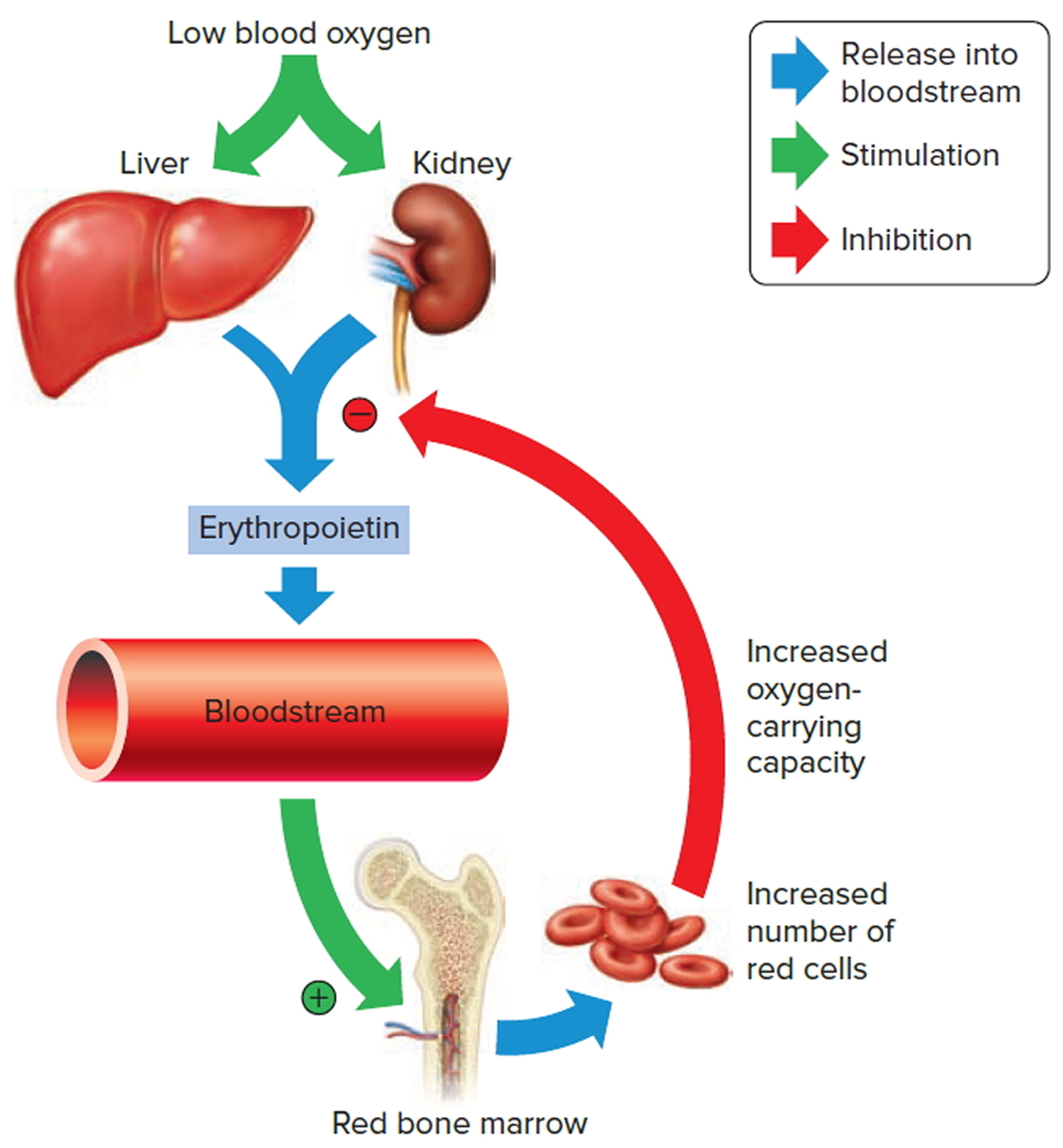 Red Blood Cells Function Causes Of Elevated High Large