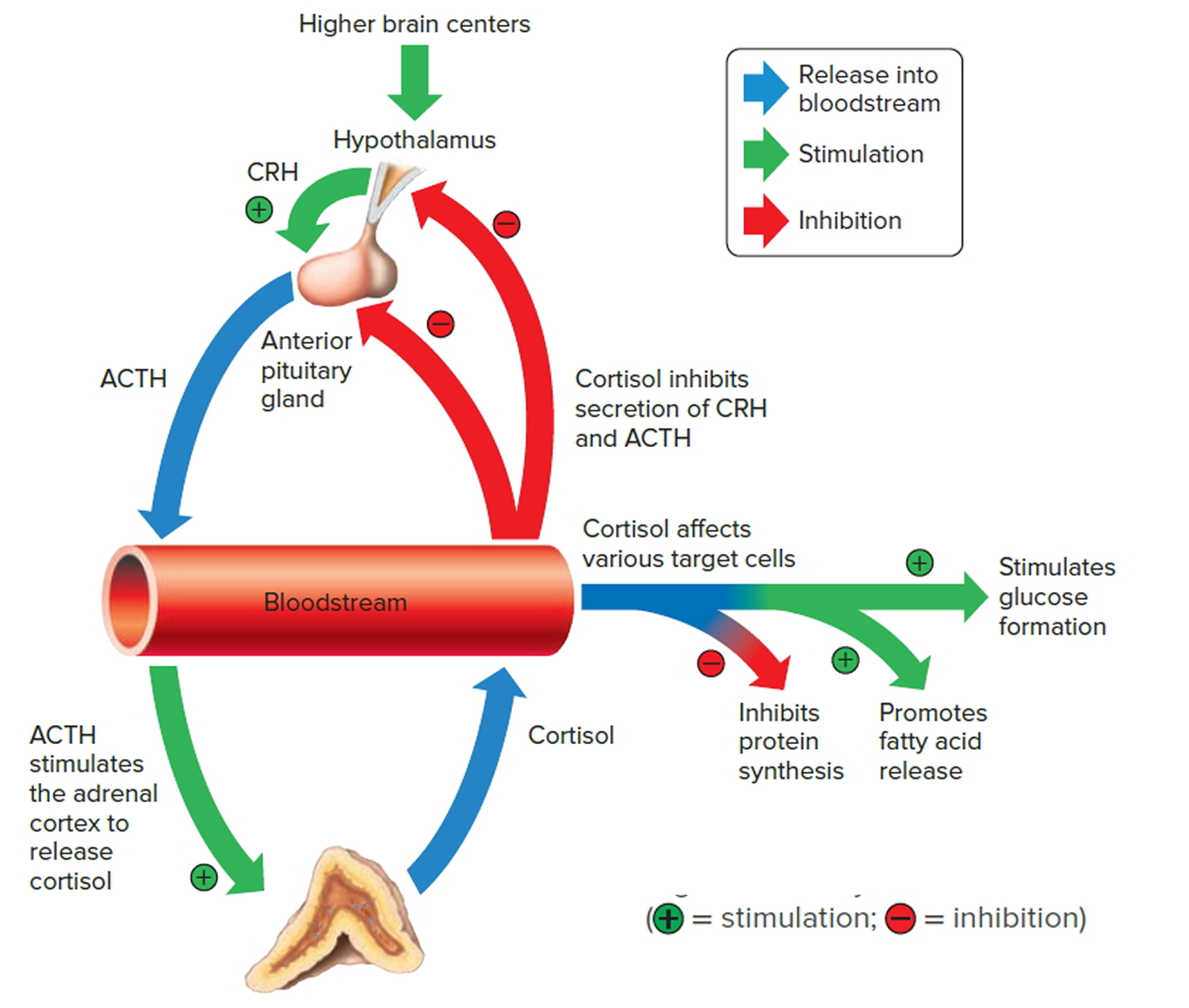 regulation of corisol secreti