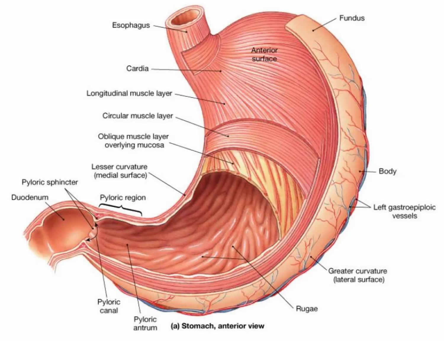 The Stomach Organs - Parts, Anatomy, Functions of the Human Stomach