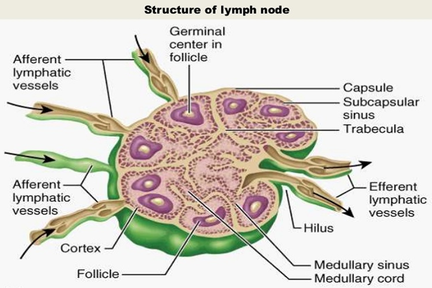 structure of lymph nodes