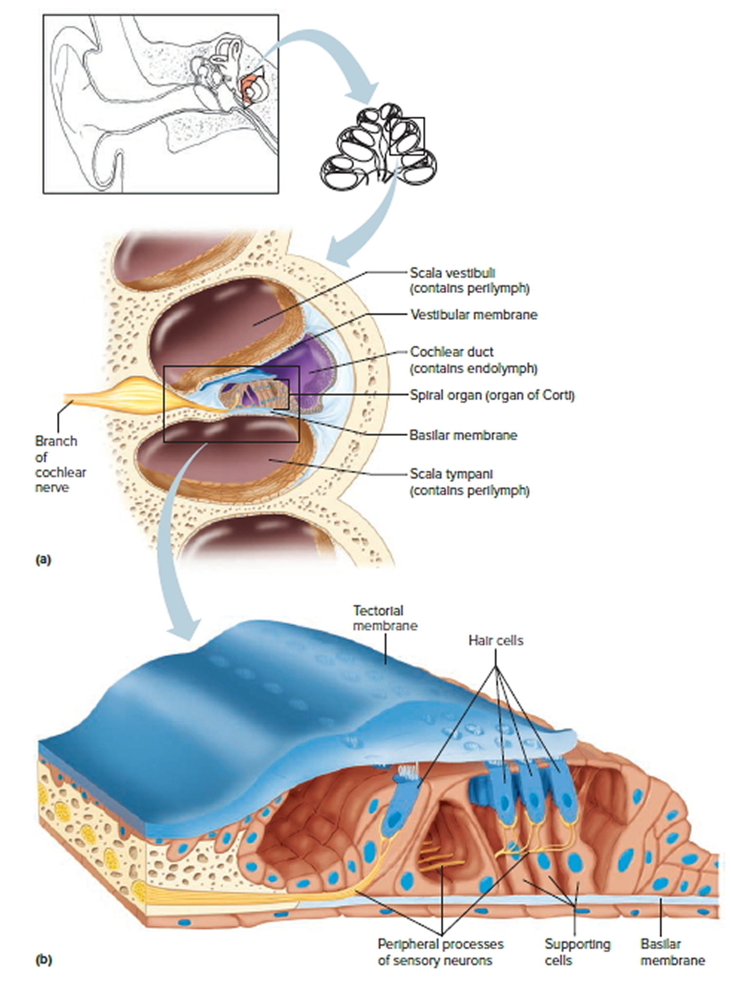 Human Ear Anatomy - Parts of Ear Structure, Diagram and ...