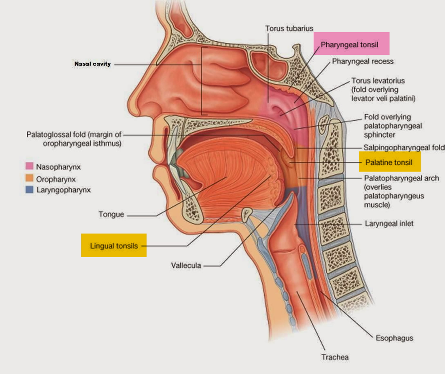 Tonsillitis and Adenoiditis - Causes, Diagnosis and Treatment