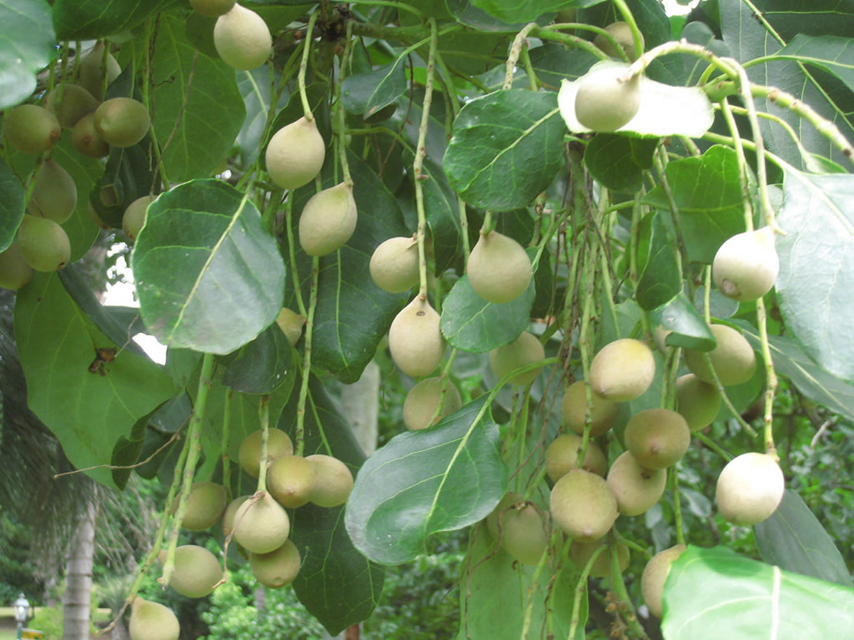 Bibhitaki - Terminalia belerica