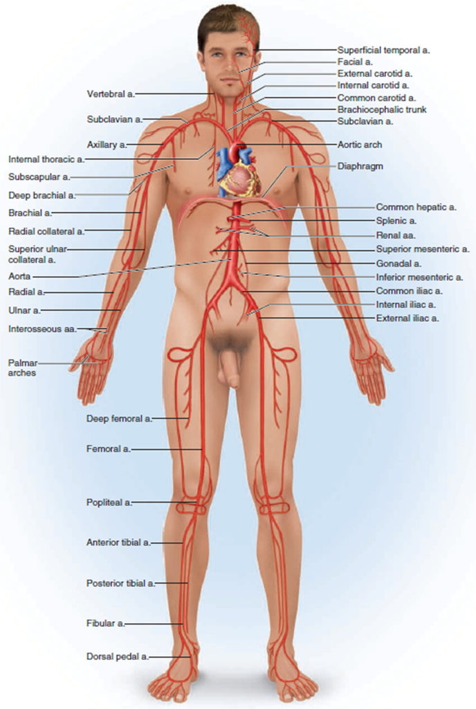 Blood Vessels Types Layers Of Blood Vessels Carry