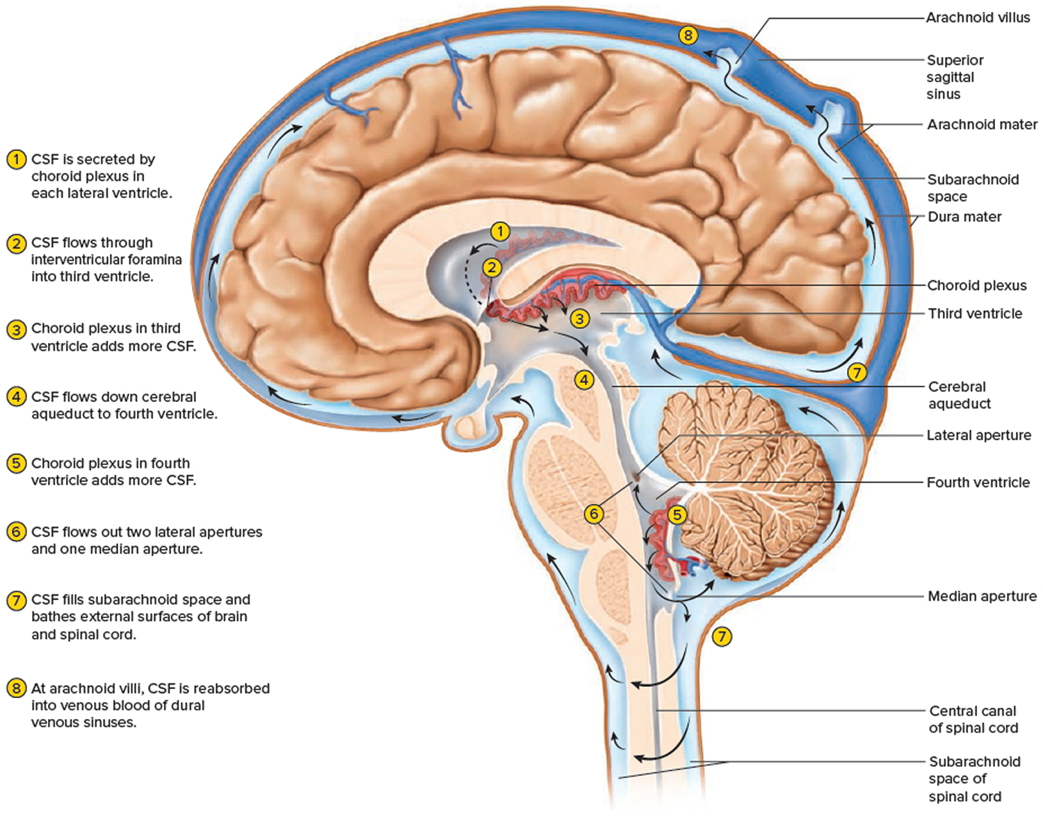 Cerebrospinal fluid formation and circulation in the brain