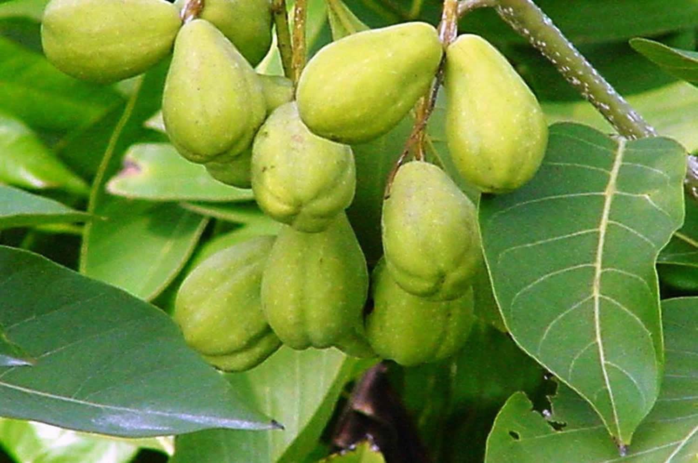 Haritaki - Terminalia chebula