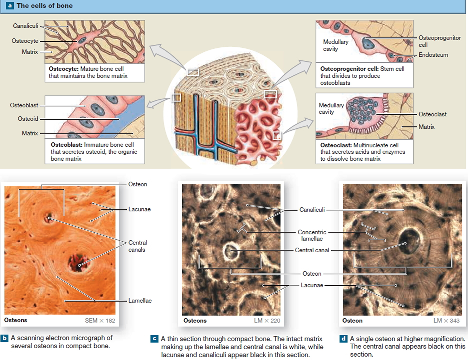 Histological Structure of a Typical Bone